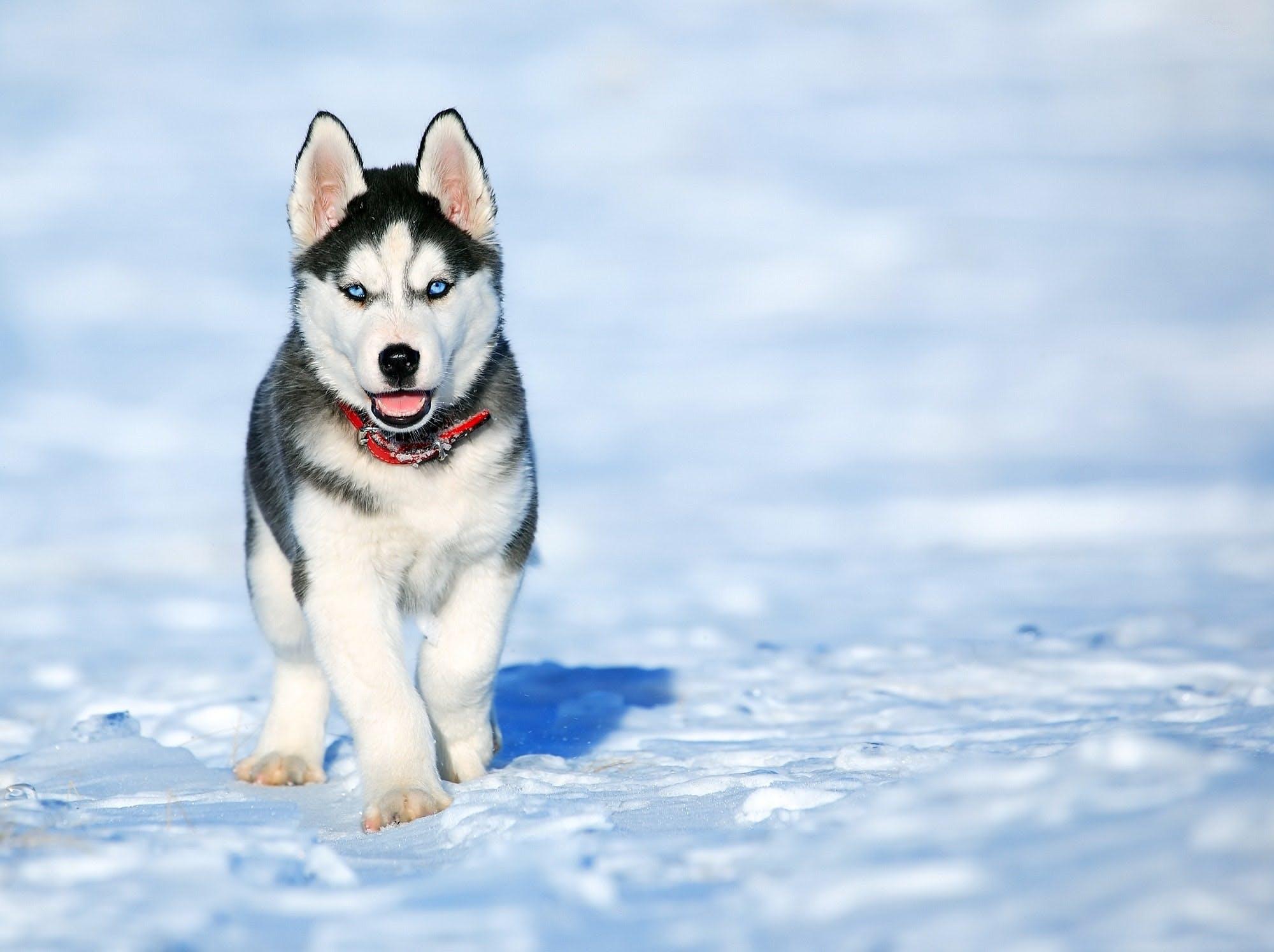 Hunden Loki the Wolfdog är ute i snön en vinterdag